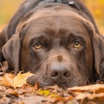 acorn poisoning in dogs