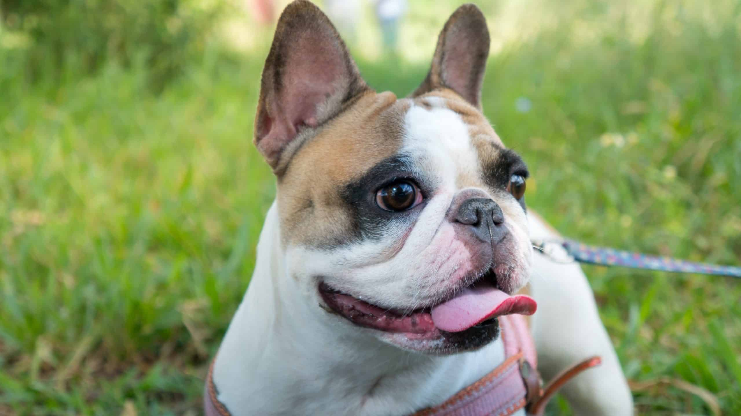 French Bulldog Breed Colours