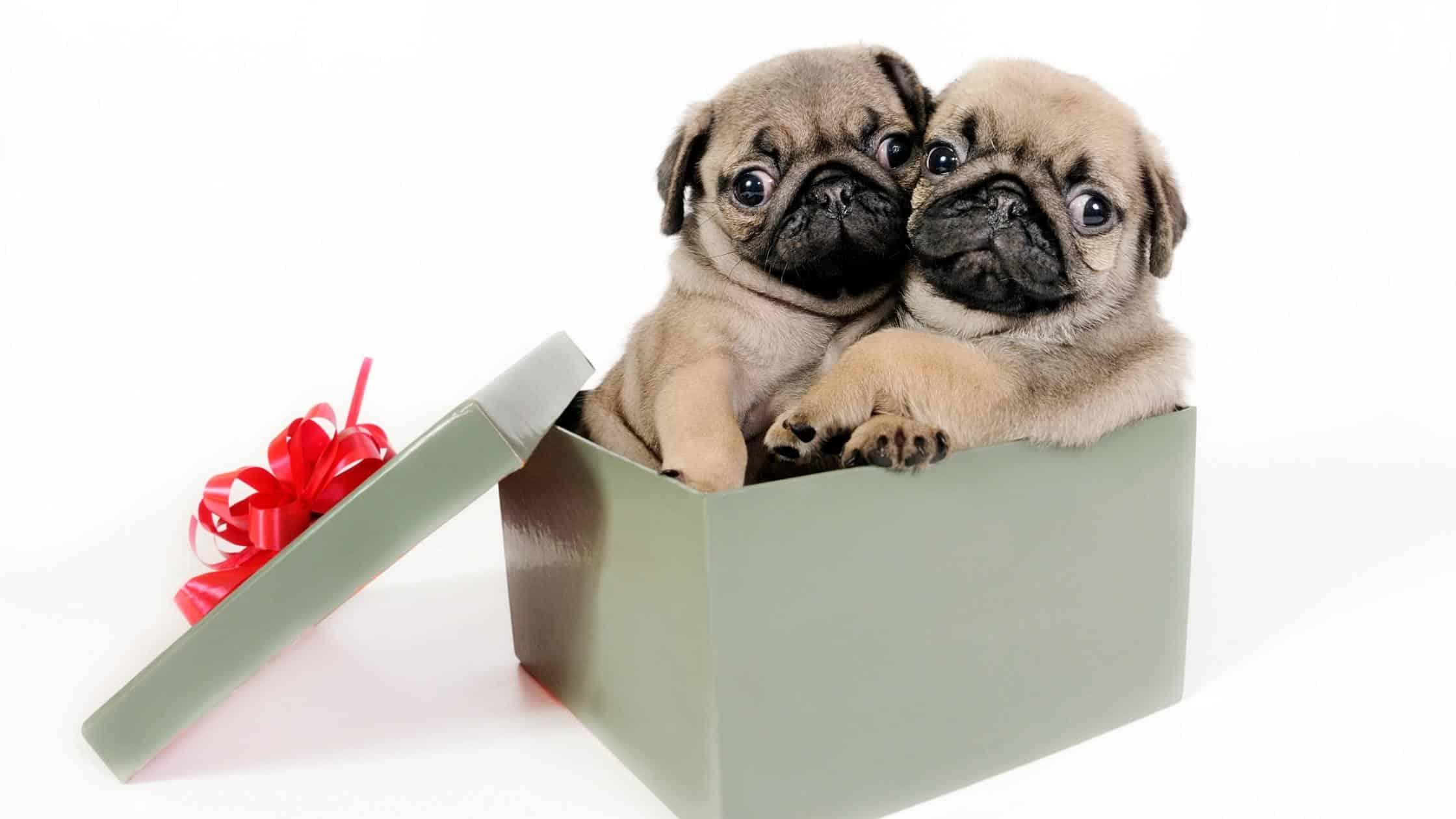 A pet is an expensive christmas gift