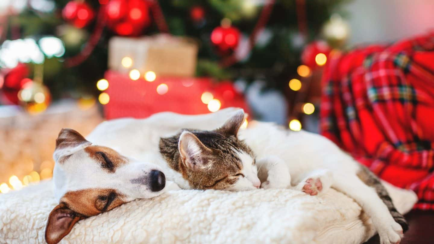 Are Christmas Trees dangerous to Cats and Dogs?