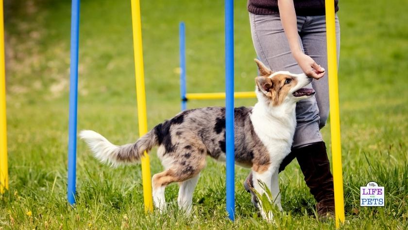 dog agility poles in yellow and blue improve your dogs abilities