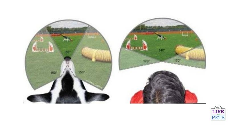 dogs field of view compared to humans