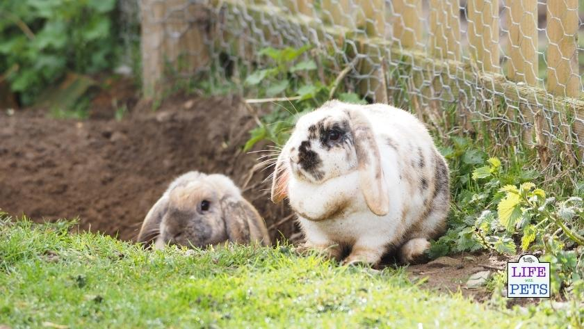 Rabbit digging pit outside in the garden