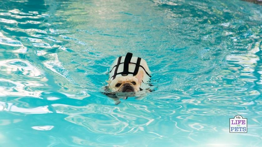 Yes, French Bulldogs can swim and it's a great way to destress.