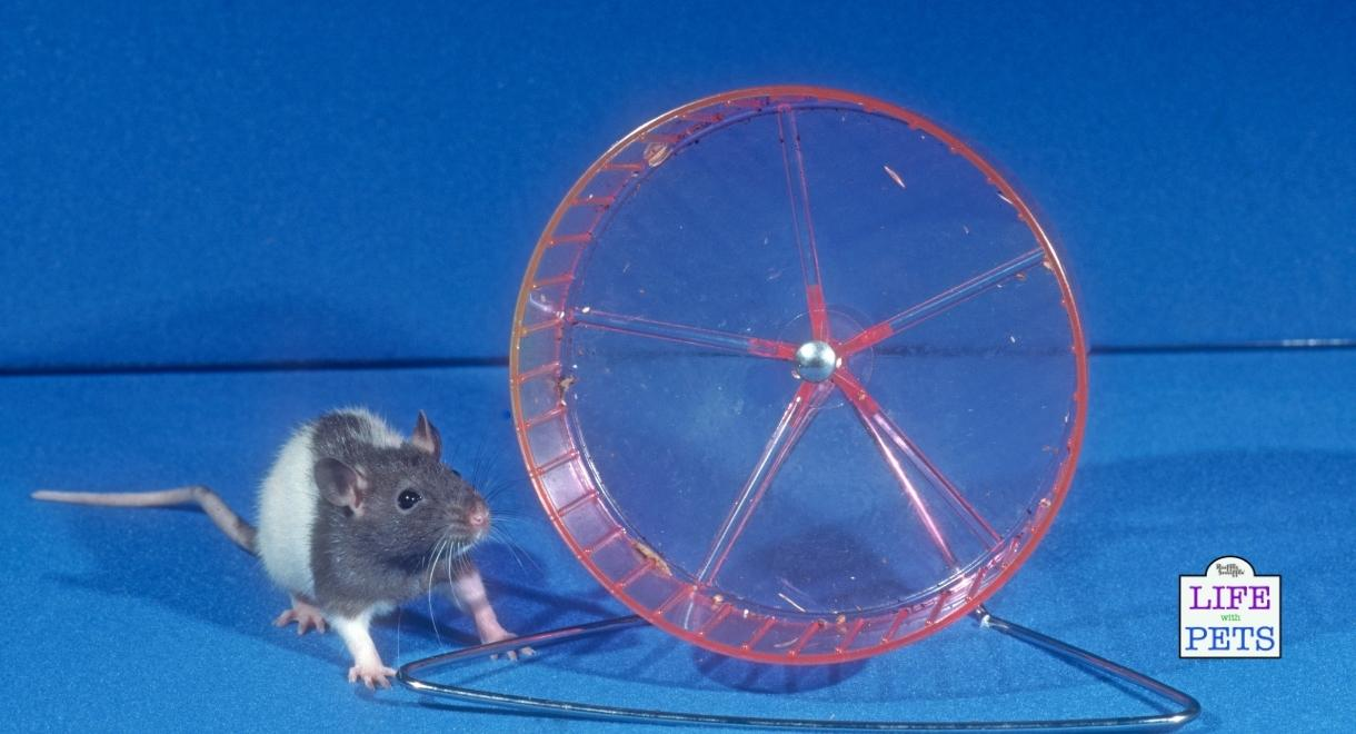 Rat running wheels are not essential but often popular choices for owners.