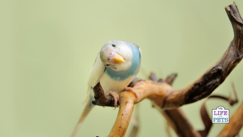 Budgie Listening to Sounds