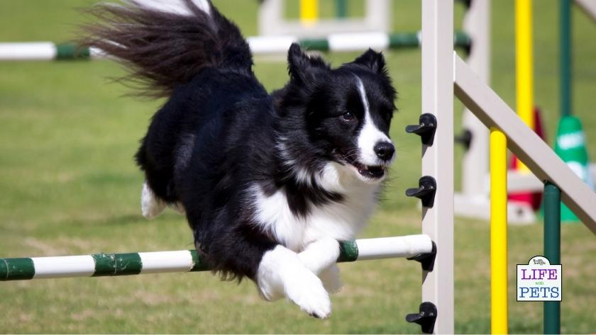 Agility is a popular activity for high-energy dogs like Border Collies