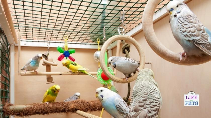 A flock of budgies enjoying and enriched environment.
