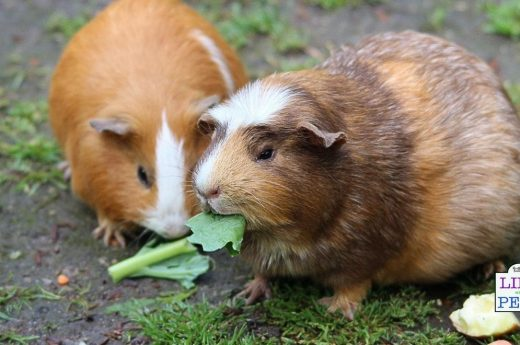 guinea pig enrichment guide 3
