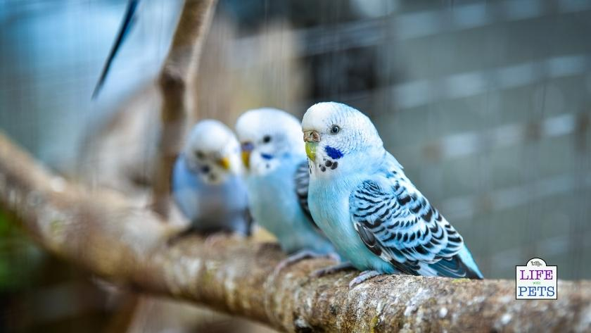 Budgies like to have lots of social enrichment.