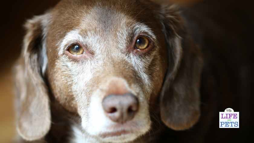 Cognitive Dysfunction Syndrome DOG