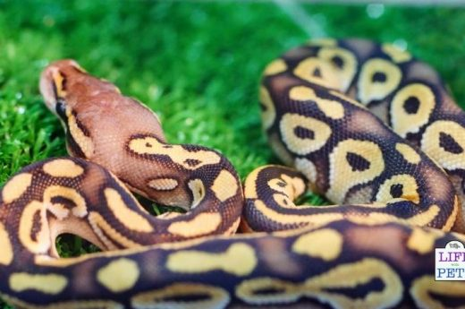 boa constrictor exotic pet
