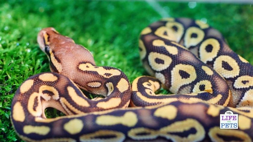 Boa Constrictor Snakes are beautiful.