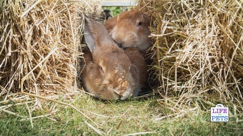 Use straw bales to provide enrichment in your giant rabbit enclosure.