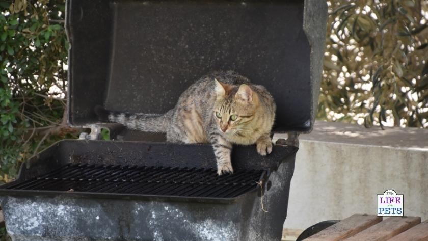 BBQ with pets safety