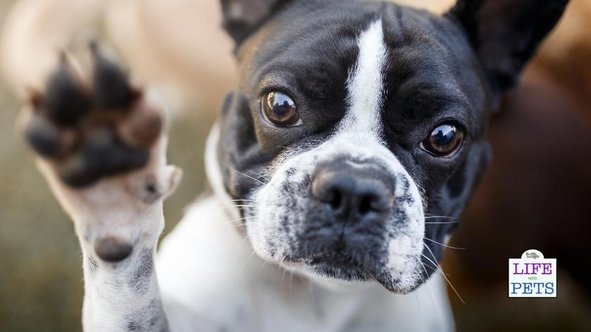 is your dog left pawed or right pawed