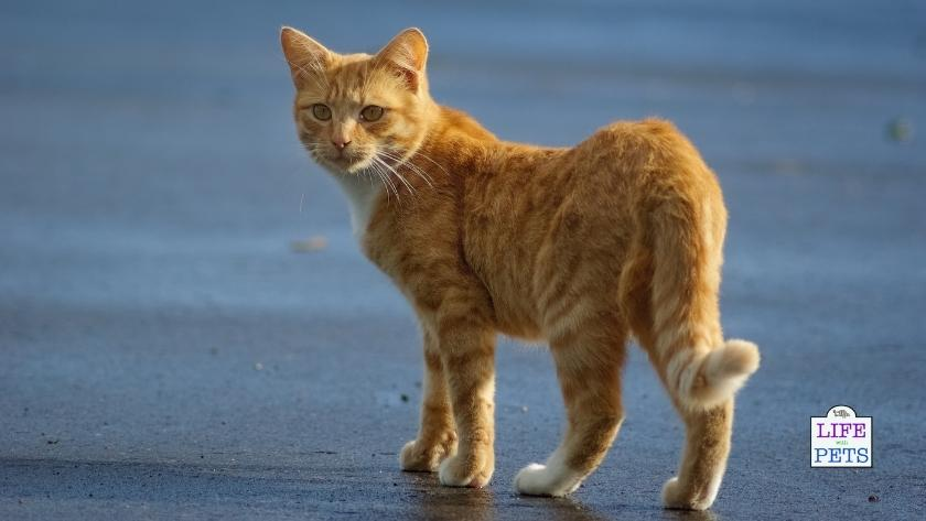 cat tail language meanings 3