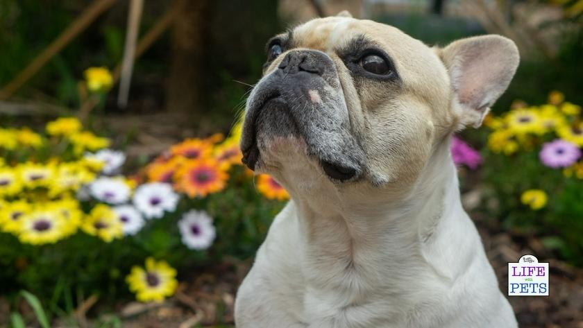 do dogs get hay fever