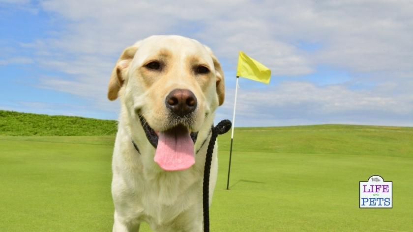 golf with your dog